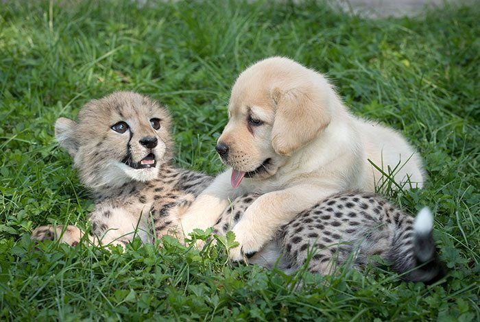 Shy Cheetas Get Emotional Support Dog.