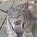 Just a lynx meowing.