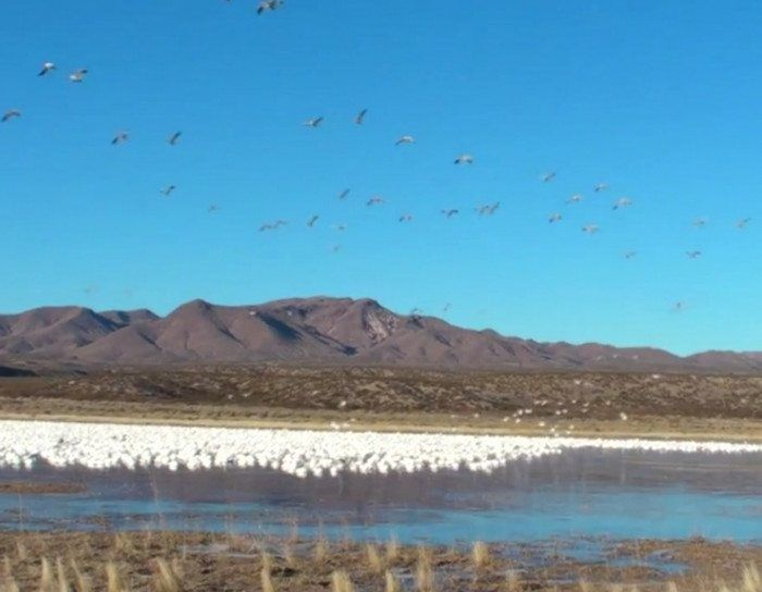 A whole flock of snow geese taking flight really takes your breath away.