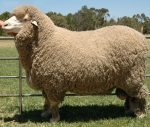 Eight Things You Probably Didn't Know About Merino