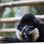 We had no idea this is what a gibbon song sounds like.